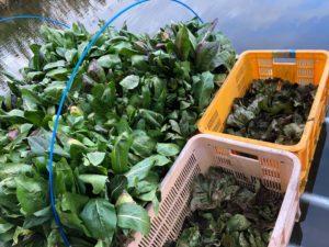 水耕栽培に切り替えたタルディーボとカステルフランコ